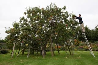 Trồng 250 giống táo trên cùng một cây