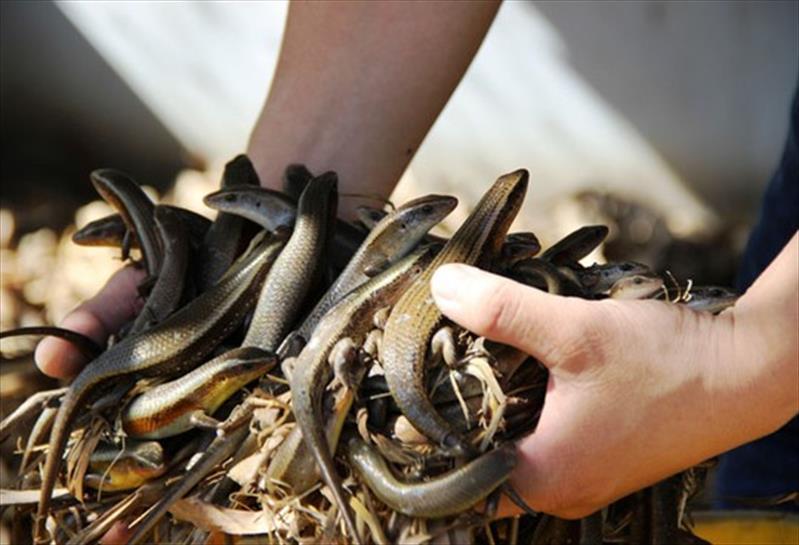 Kỹ thật nuôi rắn mối bán hoang dã